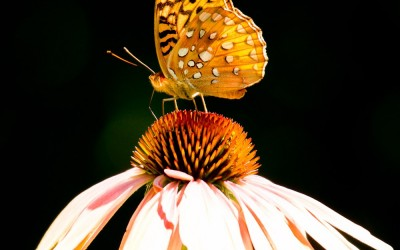 Aphrodite Fritillary on Coneflower