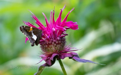Siver-spotted Skipper Butterfly