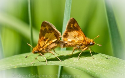 Mating Skippers