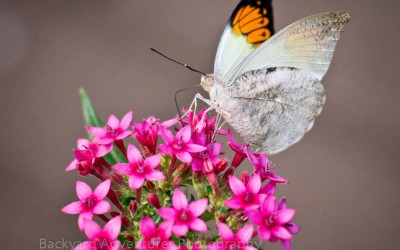 Tropical Butterfly 3