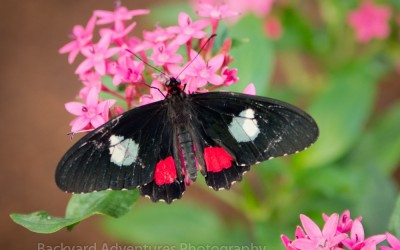 Tropical Butterfly 4