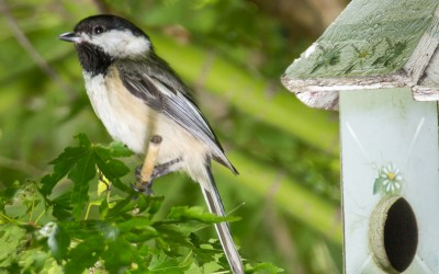 Chickadee by the Birdhouse 2