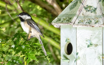 Chickadee by the Birdhouse 3
