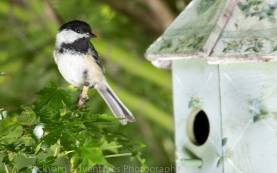 Chickadee by the Birdhouse