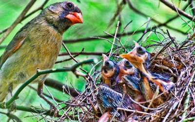 Female Cardinal Feeding the Babies 3