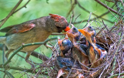 Female Cardinal Feeding the Babies 4