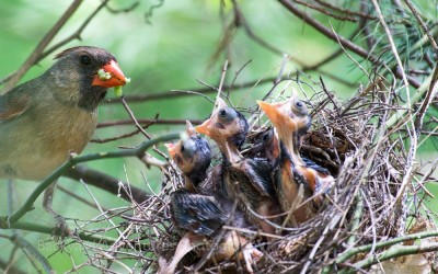 Female Cardinal Feeding the Babies