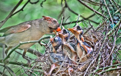 Female Cardinal Feeding the Babies 5