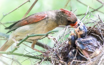 Female Cardinal Feeding the Babies 6