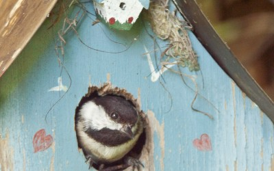 Chickadee Moves In