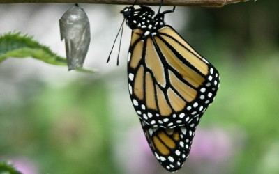 New Monarch Butterfly