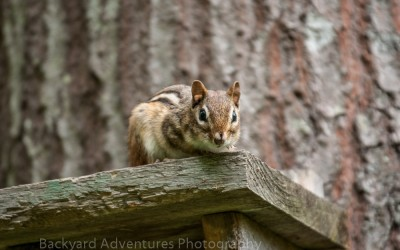 Chipmunk on birdhouse 2