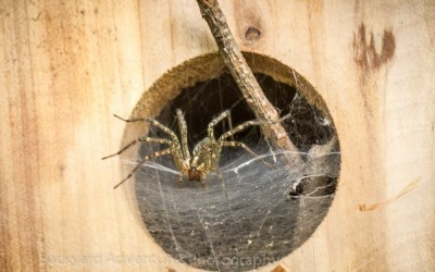 Spider in Birdhouse 1