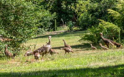 Wild Turkeys 2
