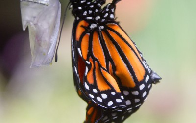 Monarch Emerging 5