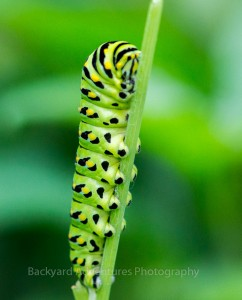 Black Swallowtail Caterpillar 2