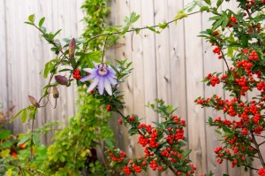 passion flower & berries-06427