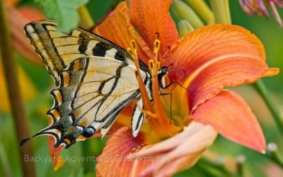 Nectaring Tiger Swallowtail