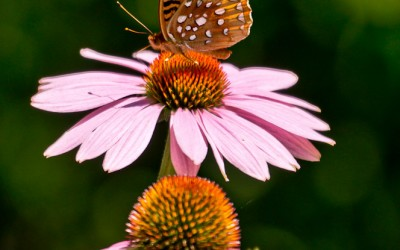 Great Spangled Fritillary with Pink Coneflowers