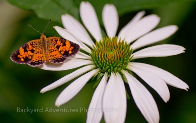 Pearl Crescent Butterfly on Coneflower