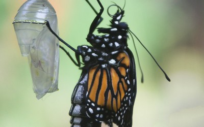 Monarch Emerging 3