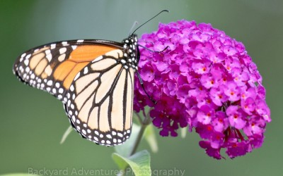 Monarch on Fuschia Buddleia