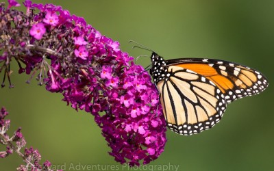 Monarch on Pink Buddleia 2