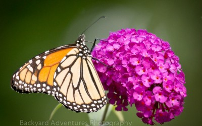 Monarch on Pink Buddleia