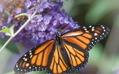 Monarch on Purple Buddleia