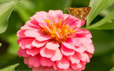 Pecks Skipper Butterfly