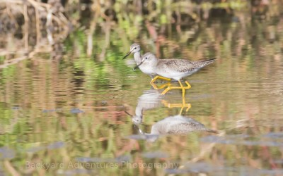 Greater Yellow Legs in Reflection