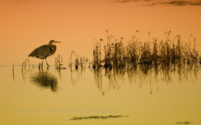 Egret Reflection at Sunset