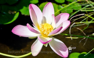 Bee Approaching Lotus