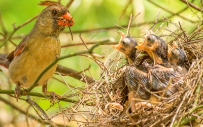 Female Cardinal by the Nest