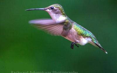 Hummingbird in Flight 2
