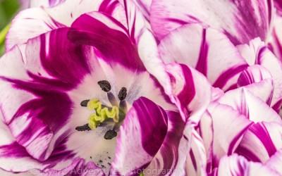Purple & White Tulip