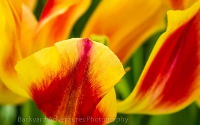 Red & Yellow Tulip 2