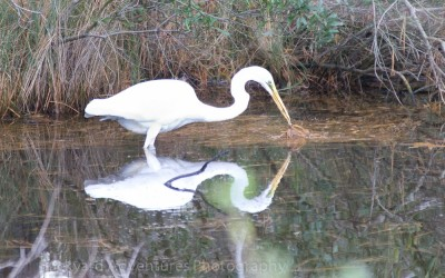 egret gathering straw