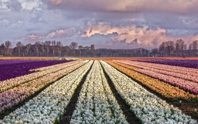 Flower Fields 2