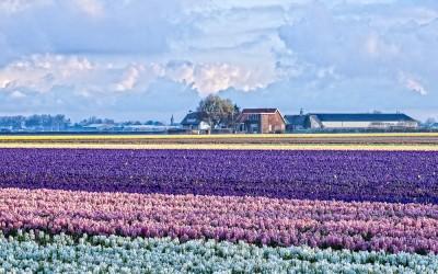 Flower Fields 3