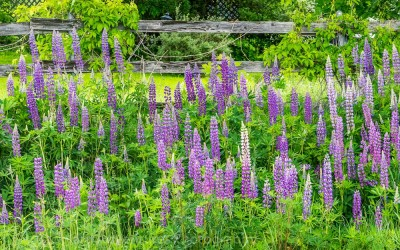 Lupines by the Gate