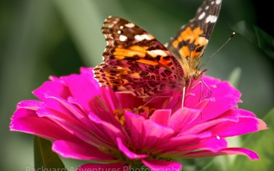 Painted Lady on Zinnia