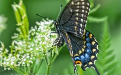 Black Swallowtail 11