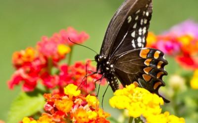 Black Swallowtail 13