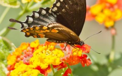 Black Swallowtail 14