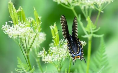 Black Swallowtail 15