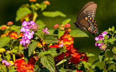 Black Swallowtail 16