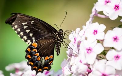 Black Swallowtail 3