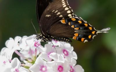 Black Swallowtail 4