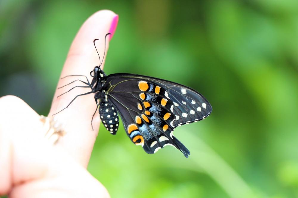 Courtyard Visitor-Eastern Black Swallowtail